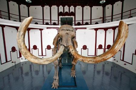 L ivoire de mammouth va t il sauver les l phants - Comment reconnaitre de l ivoire ...