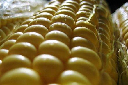 Les animaux nourris au soja OGM